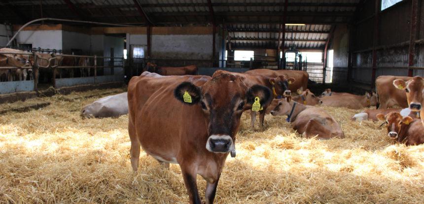 Rasy Bydła Jersey Blog Rolniczy Dla Rolników Tworzony Z Pasją